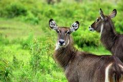 Waterbuck秀丽,坦桑尼亚 免版税库存图片