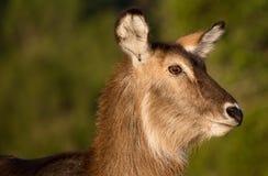 Waterbuck羚羊画象 库存照片