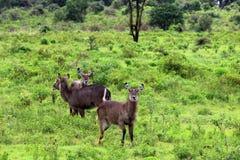 Waterbuck鹿,坦桑尼亚 免版税库存图片
