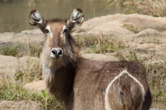 Waterbuck, Madikwe比赛储备 库存照片