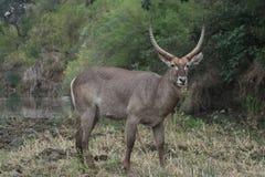 Waterbuck à côté de marais dans le buisson africain photos libres de droits