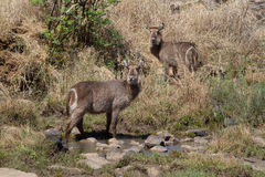 Waterbuck, επιφύλαξη παιχνιδιού Madikwe στοκ εικόνες