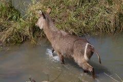 Waterbuck, επιφύλαξη παιχνιδιού Madikwe στοκ φωτογραφίες