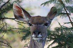 Waterbuck στους θάμνους Στοκ Εικόνες