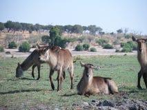 Waterbuck στο εθνικό πάρκο Chobe Στοκ φωτογραφίες με δικαίωμα ελεύθερης χρήσης