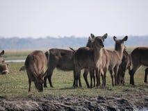 Waterbuck στο εθνικό πάρκο Chobe Στοκ Φωτογραφία