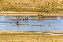 Waterbuck и гусыни в реке Стоковое Изображение RF