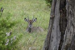 WATERBUCK под деревом Стоковое Изображение RF