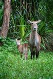 Waterbuck с младенцем в национальном парке Кении стоковая фотография rf