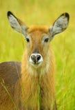 Waterbuck (水羚属ellipsiprymnus) 图库摄影