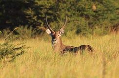Waterbuck -非洲野生生物背景-自豪感和力量 免版税库存图片