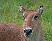 waterbuck Zdjęcie Stock
