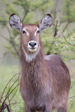 waterbuck Fotografia Royalty Free