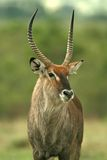 waterbuck Στοκ Εικόνα