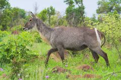 Waterbuck. Walking in the African bush Royalty Free Stock Photo