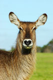 waterbuck Fotografia Stock