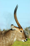 Waterbuck. A male waterbuck head portrait profile with big horns watching other waterbucks in a game park in South Africa Stock Photo