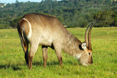 waterbuck obraz royalty free