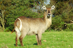 Waterbuck. A female waterbuck in a game park in South Africa Stock Photography