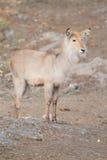 Waterbuck Royalty Free Stock Photo