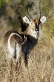 Waterbuck. Male Waterbuck looking back at camera Royalty Free Stock Image