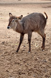 Waterbuck Stock Images
