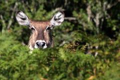 Waterbuck royalty free stock photography