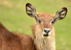 Waterbuck Stock Photos