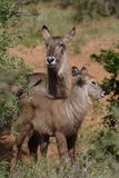 Waterbuck. Mother and calve waterbuck taken in Kruger Park,South Africa Stock Photos
