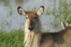 Waterbuck Lizenzfreies Stockfoto