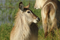 Waterbuck Stock Foto