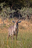 Waterbuck. In liwonde national park malawi Stock Photos