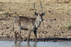 Waterbuck. In South African Reserve Royalty Free Stock Image