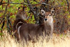 Waterbuck. A herd of waterbuck in Kruger National Park, South Africa Royalty Free Stock Photography
