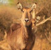 Waterbuck, 3 Eyes on You - African Antelope Stock Photo
