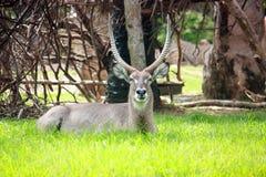 Waterbuck Royaltyfria Foton