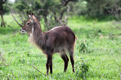 Waterbuck Photographie stock libre de droits
