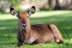 Waterbuck стоковое фото rf