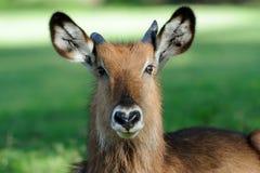 Waterbuck стоковое изображение