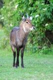 Waterbuck стоковые фото