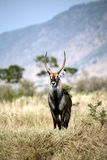 Waterbuck. Standing on a grass hill in the Masa Mara Reserve (Kenya Stock Photography