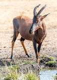Waterbuck fotografia de stock royalty free