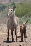 Waterbuck Obraz Stock