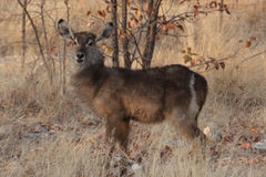 Free Waterbuck Stock Images - 7098634