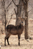 waterbuck стоковая фотография