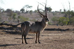 Waterbuck Royaltyfria Foton