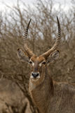 Waterbuck Stockbilder