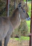 Waterbuck Zdjęcie Royalty Free