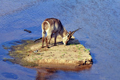 Waterbuck in Africa Royalty Free Stock Photo