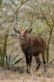 Waterbuck in Africa savannah wild nature. Waterbuck Kobus ellipsiprymnus wild antelope deer with horn in Africa savannah nature. Safari game wild nature national Royalty Free Stock Photos